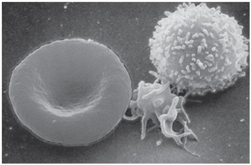 Leukopenia or Decreased of White Blood Cells